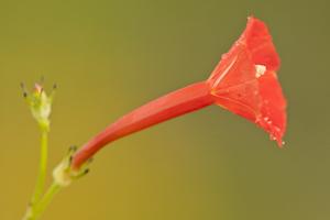 Ipomoea hederifolia