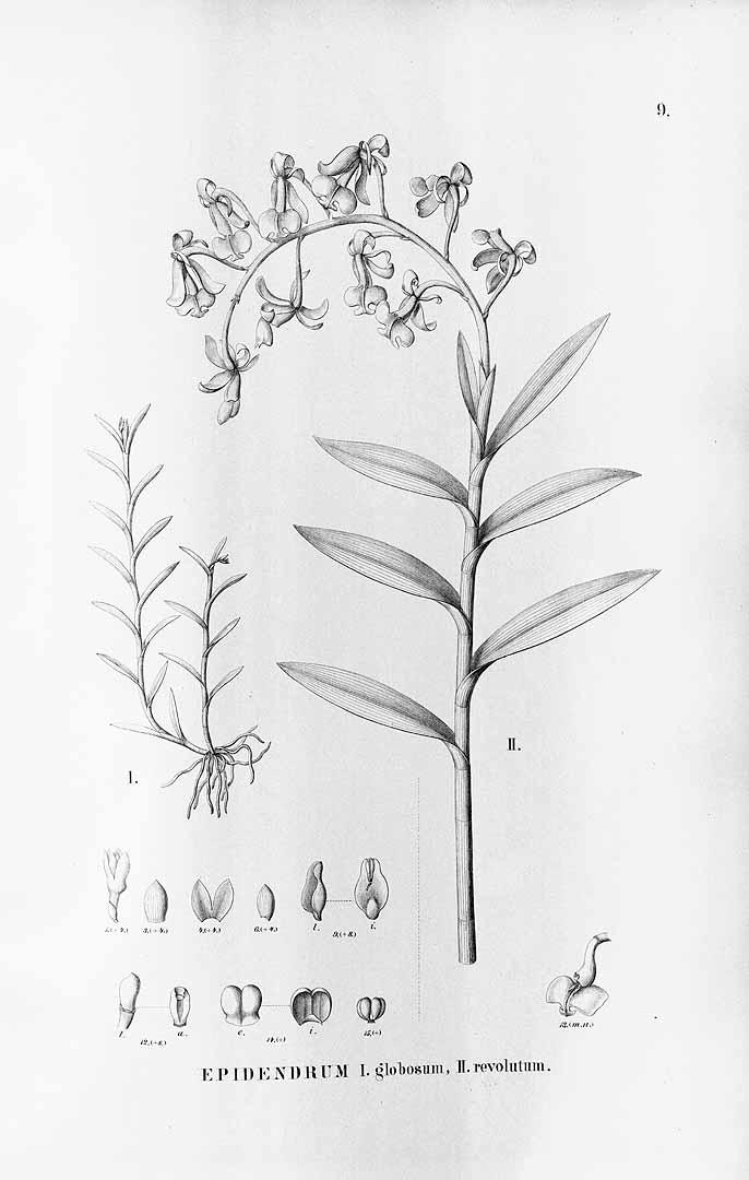 Jacquiniella globosa