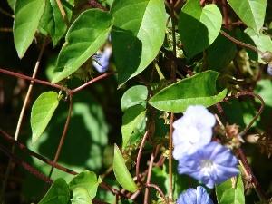 Jacquemontia pentanthos