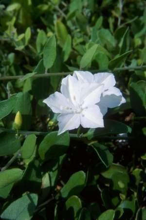 Jacquemontia reclinata