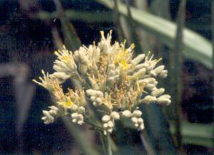 Lachnanthes caroliana