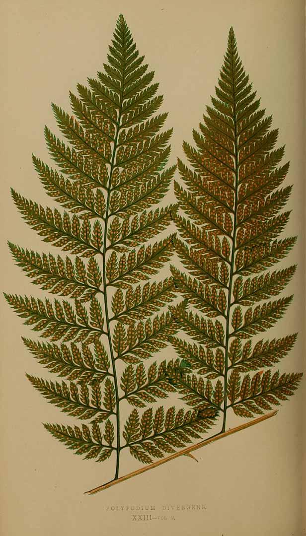 Lastreopsis effusa