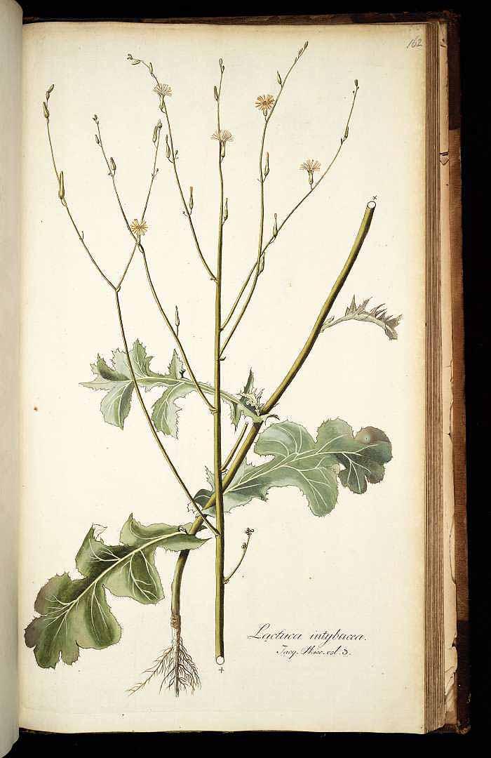 Launaea intybacea