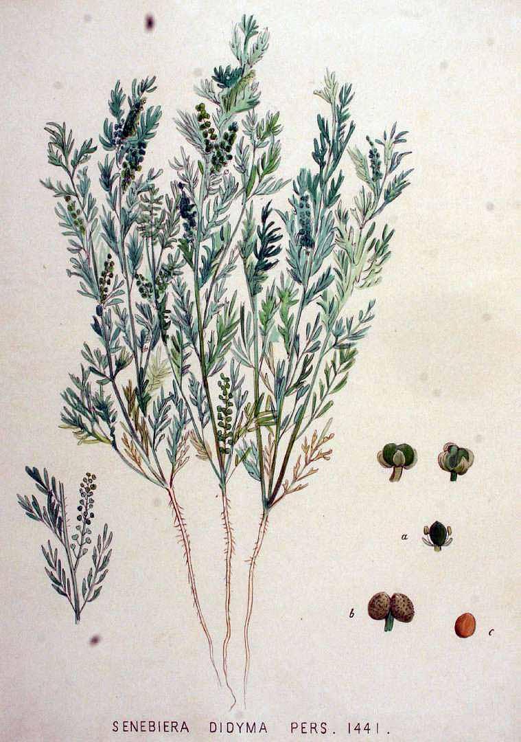Lepidium didymum