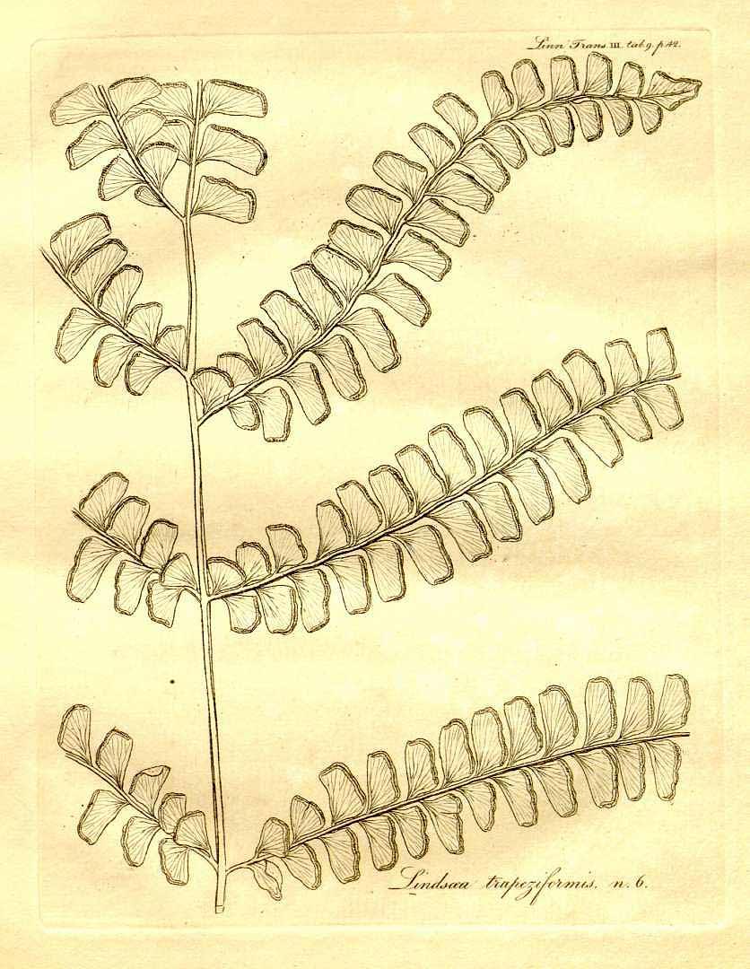 Lindsaea lancea