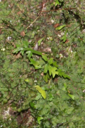 Lomariopsis kunzeana