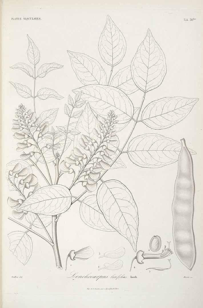 Lonchocarpus heptaphyllus