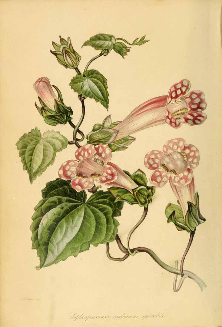 Lophospermum erubescens