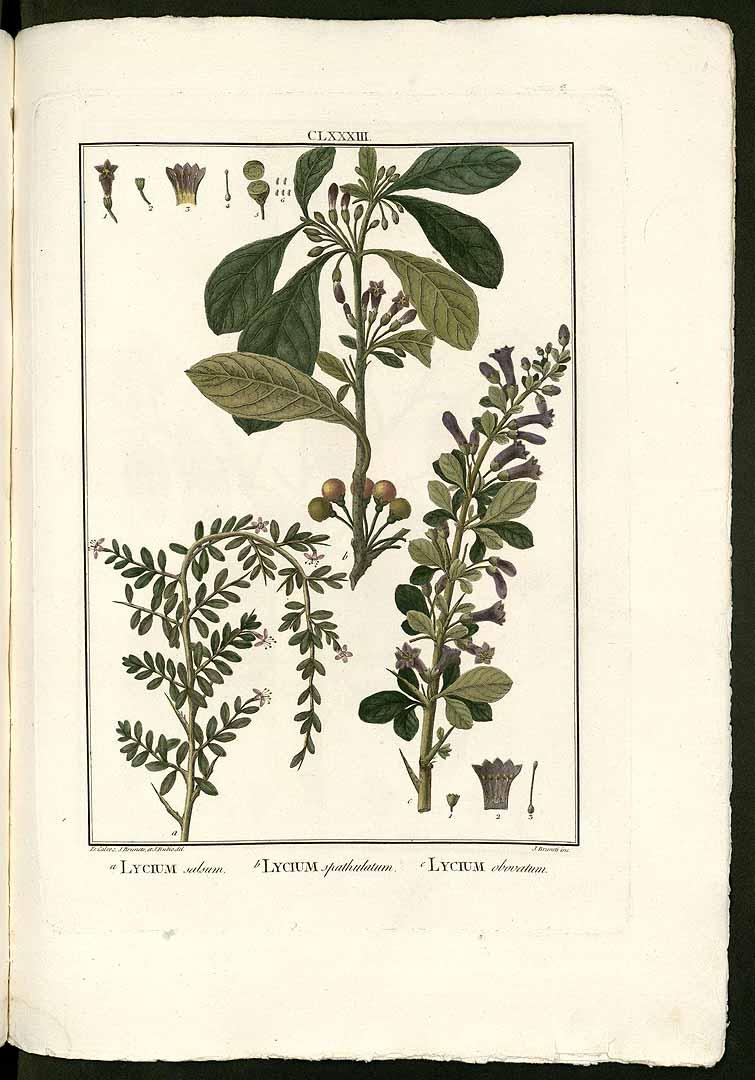Lycium americanum