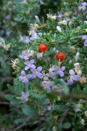 Lycium carolinianum