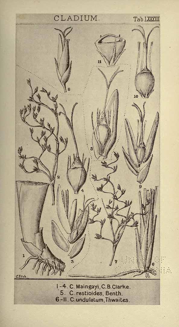 Machaerina restioides