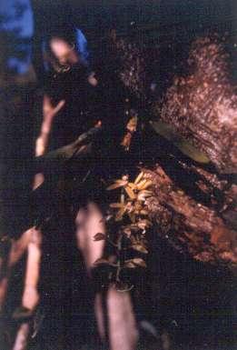 Macradenia lutescens