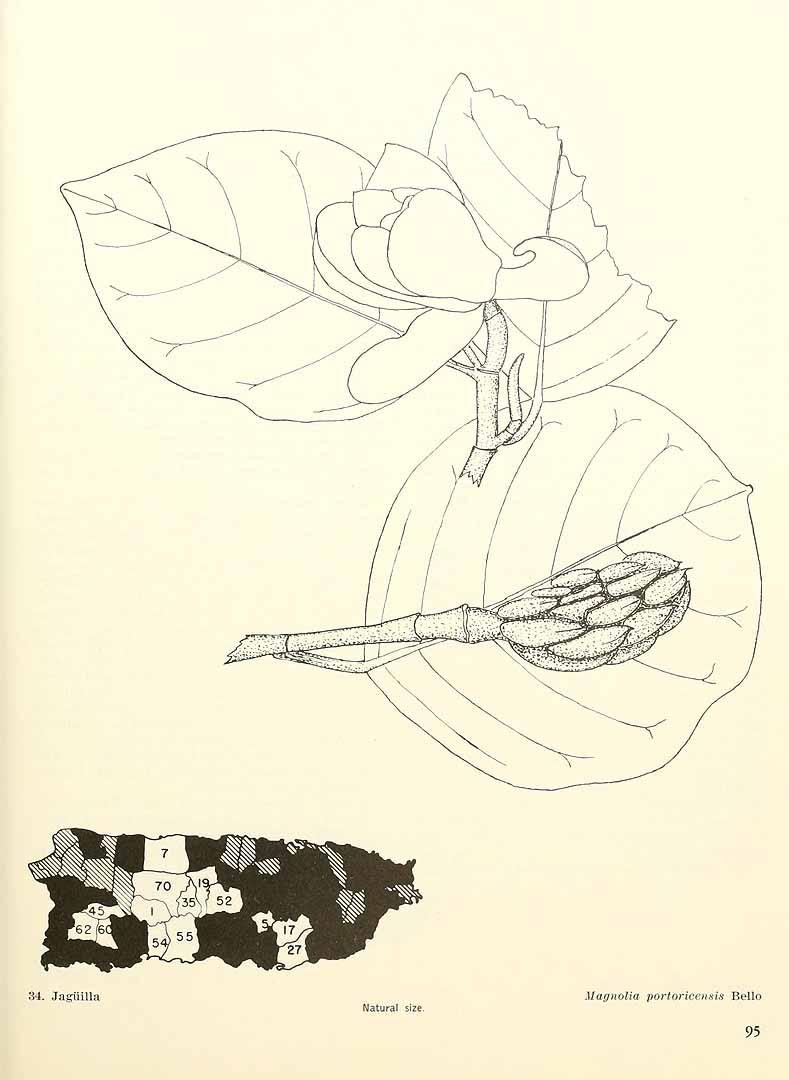 Magnolia portoricensis