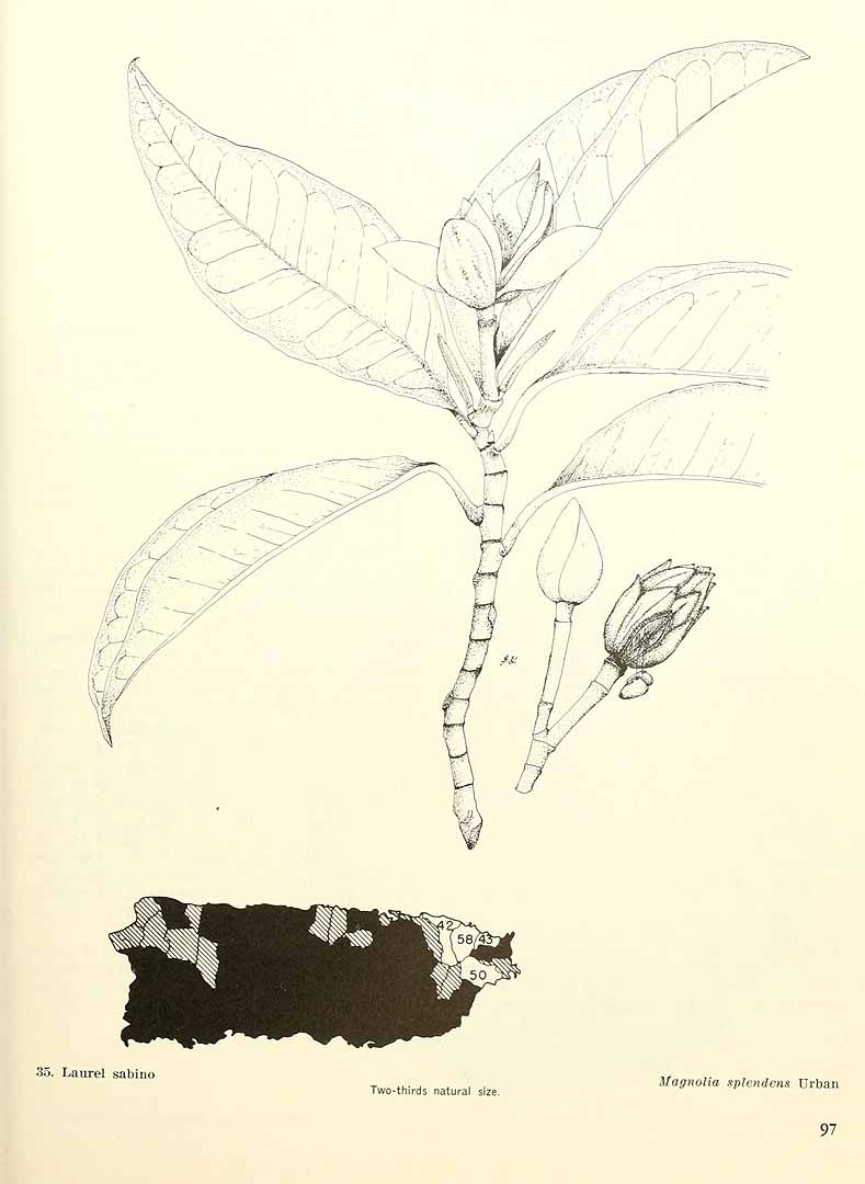Magnolia splendens