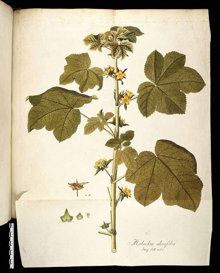 Malachra alceifolia