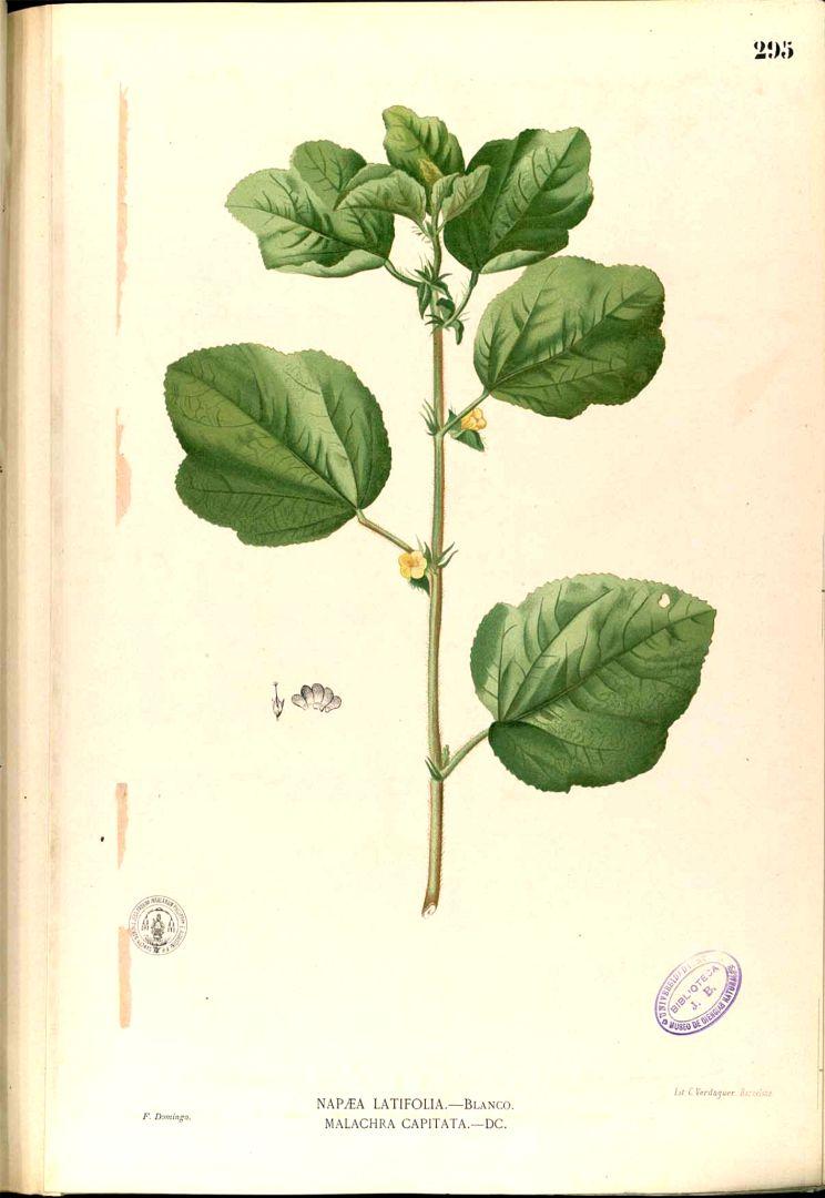 Malachra capitata