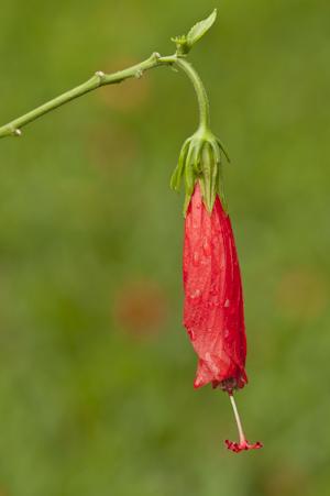 Malvaviscus penduliflorus