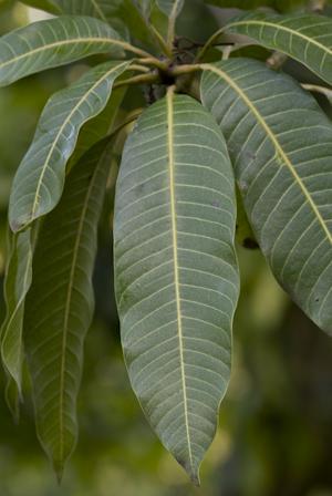 Mangifera indica