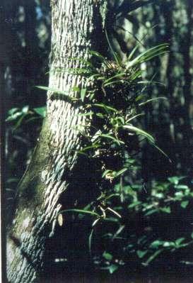 Camaridium micranthum