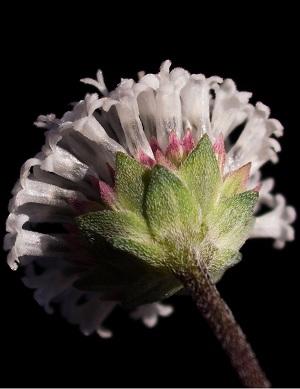 Melanthera parvifolia