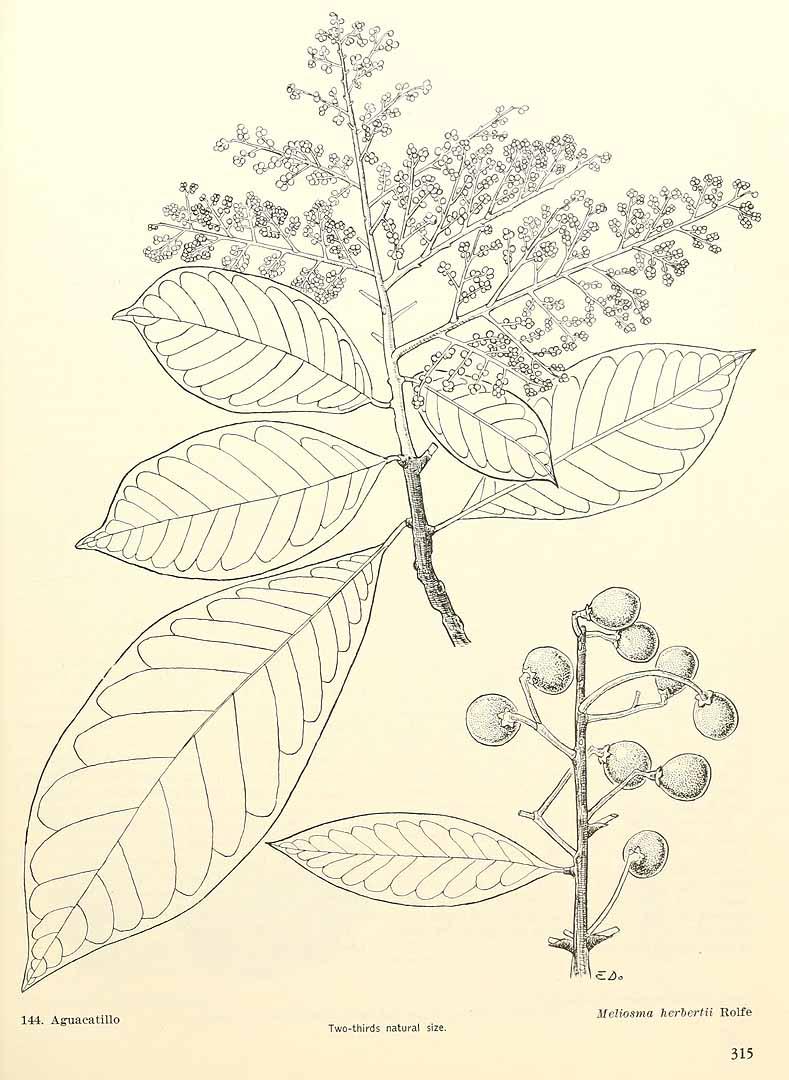 Meliosma herbertii