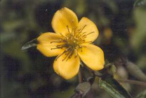 Mentzelia floridana