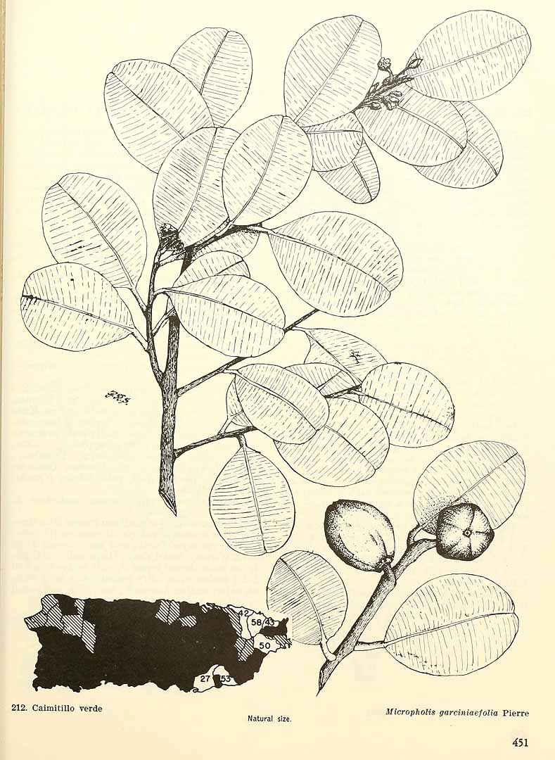 Micropholis garciniifolia