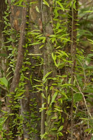 Microgramma heterophylla