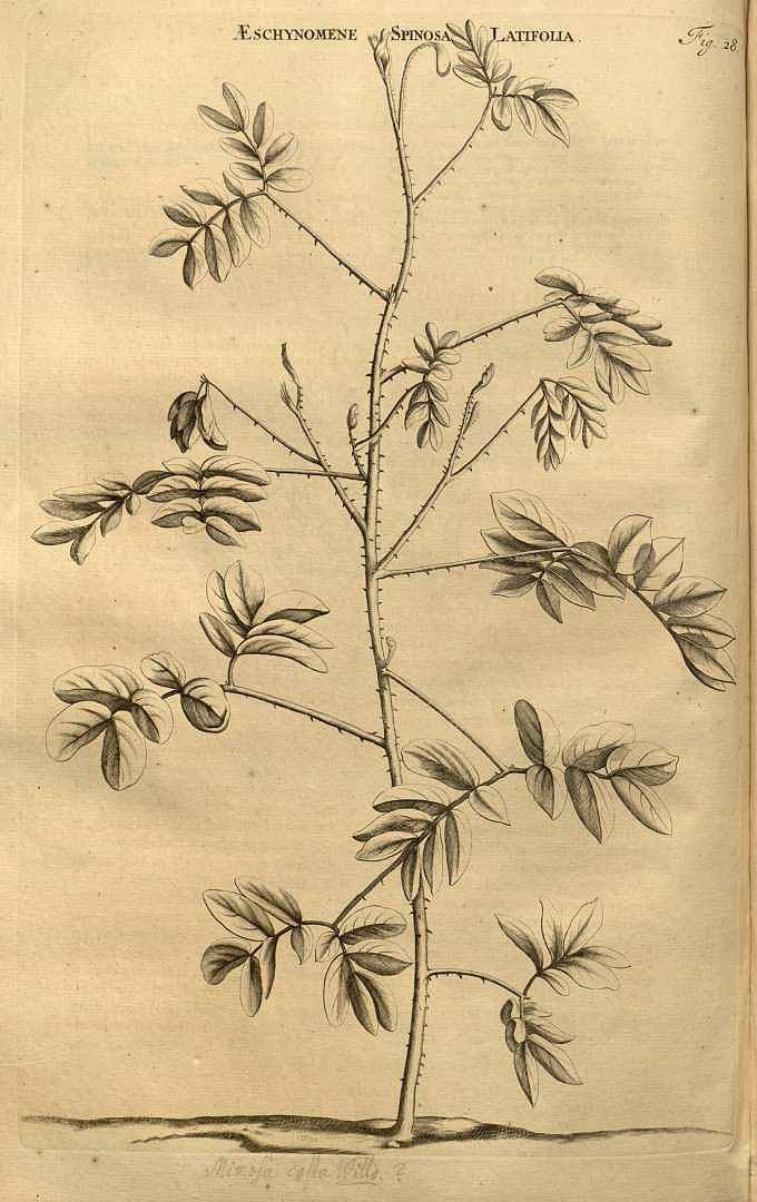 Mimosa casta