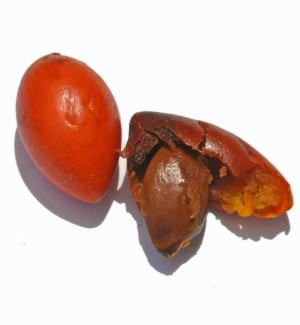 Mimusops elengi