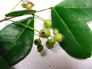 Myrcia citrifolia