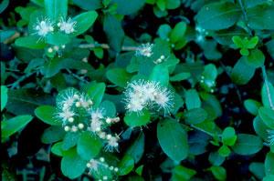 Myrcianthes fragrans