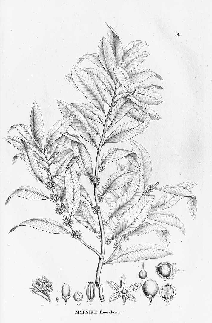 Myrsine coriacea