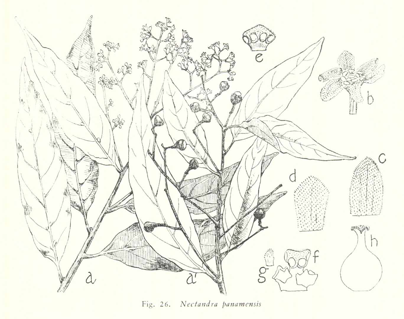 Nectandra turbacensis