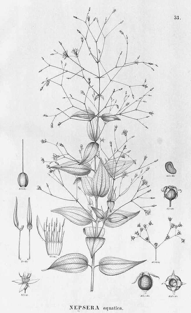 Nepsera aquatica