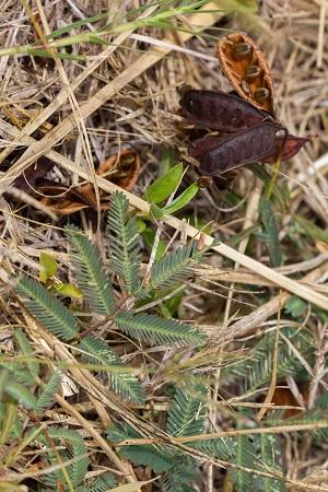 Neptunia pubescens