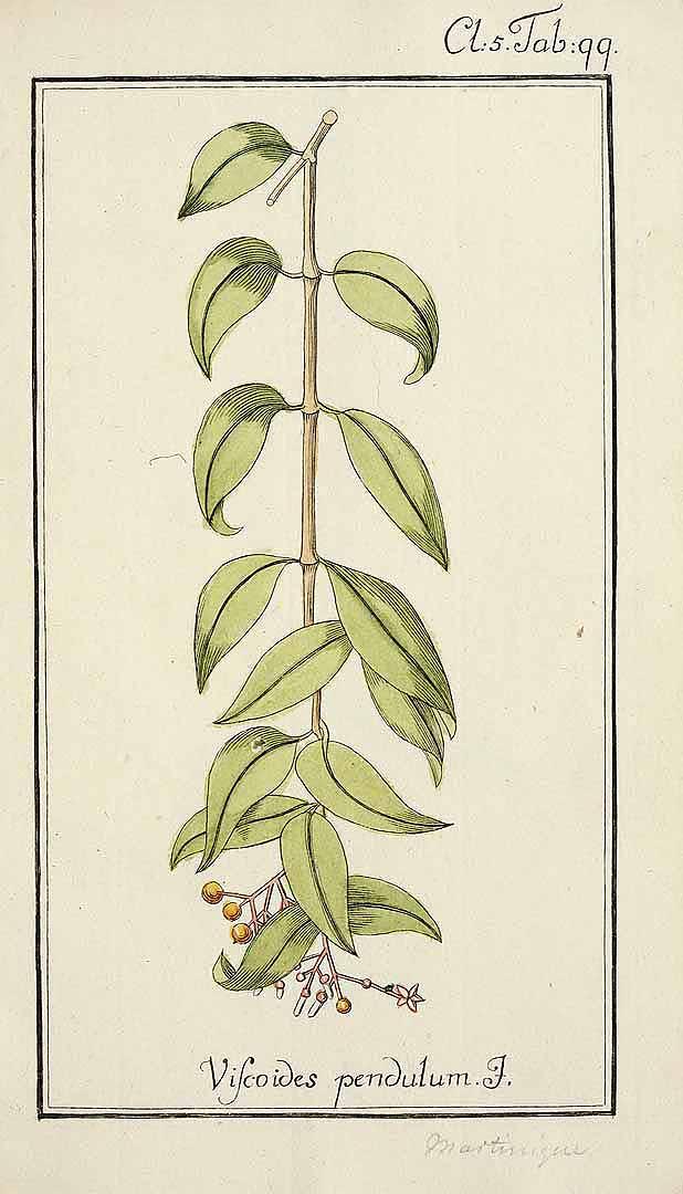 Notopleura guadalupensis