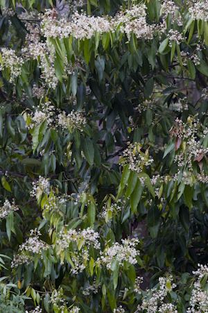 Nectandra coriacea