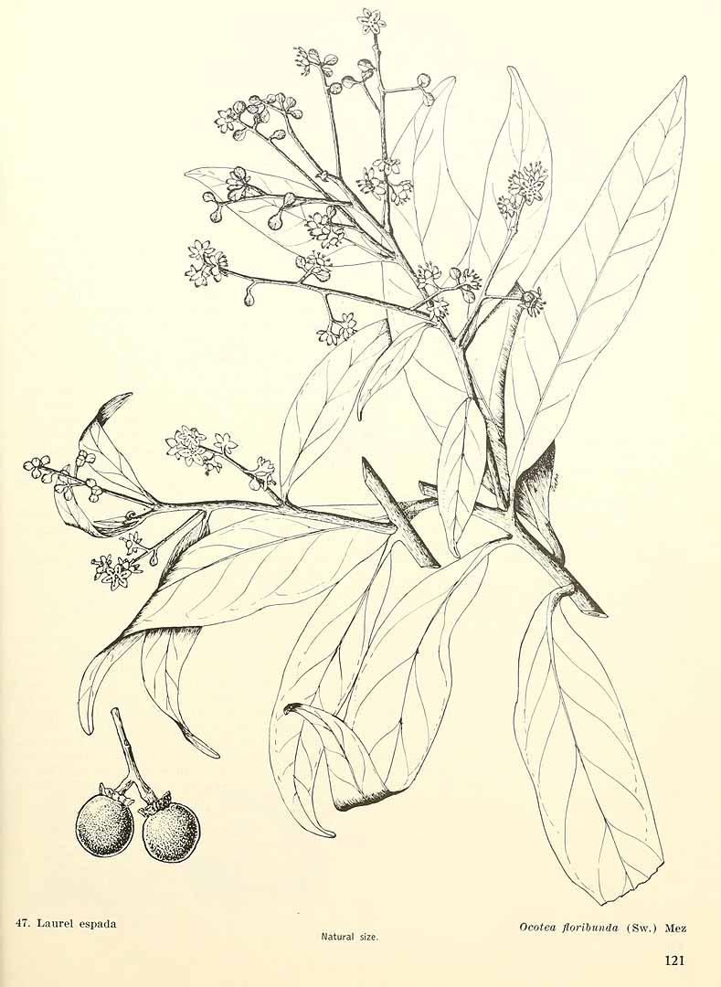 Ocotea floribunda