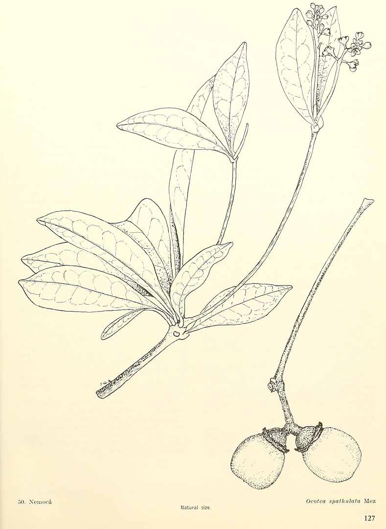 Ocotea spathulata