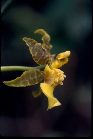 Oncidium ensatum
