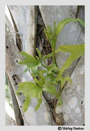 Ophioglossum palmatum