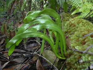 Ophioglossum pendulum