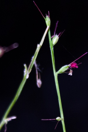 Oplismenus hirtellus
