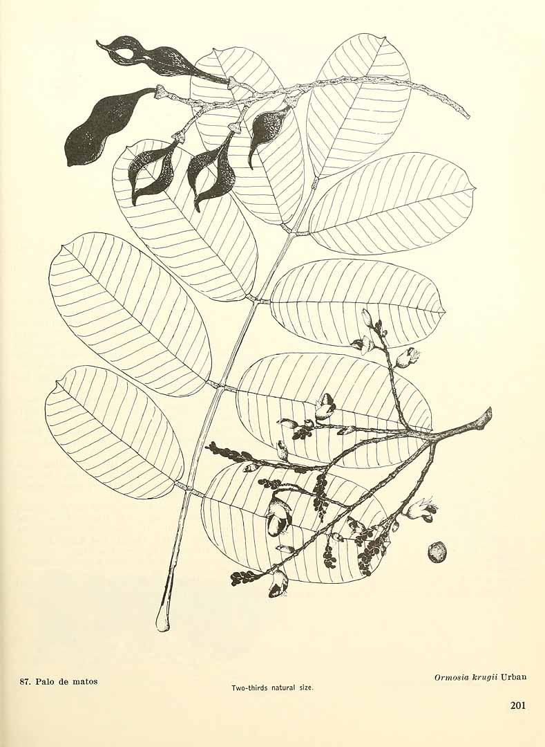 Ormosia krugii