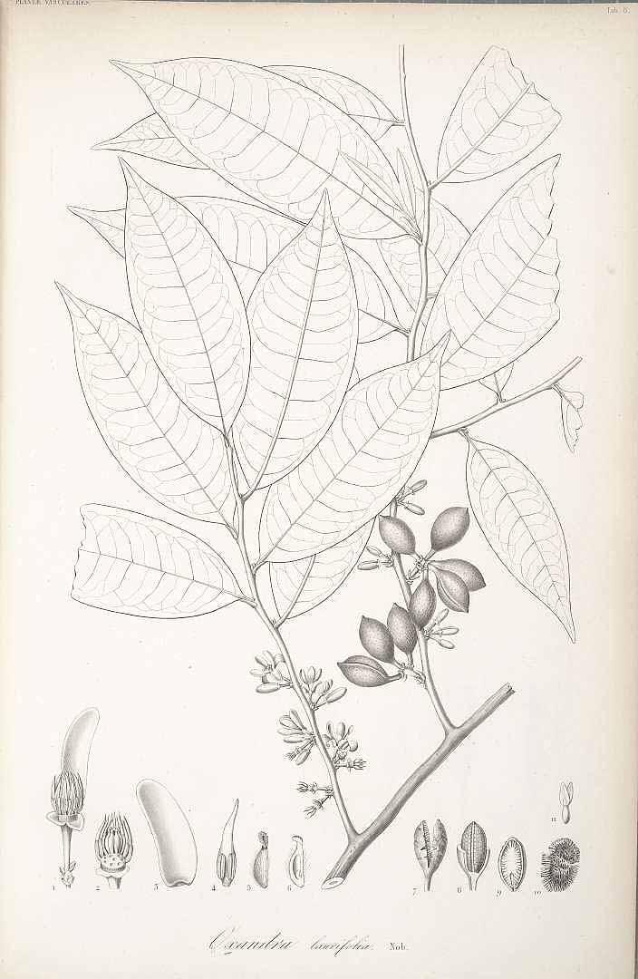 Oxandra laurifolia