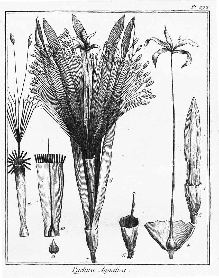 Pachira aquatica