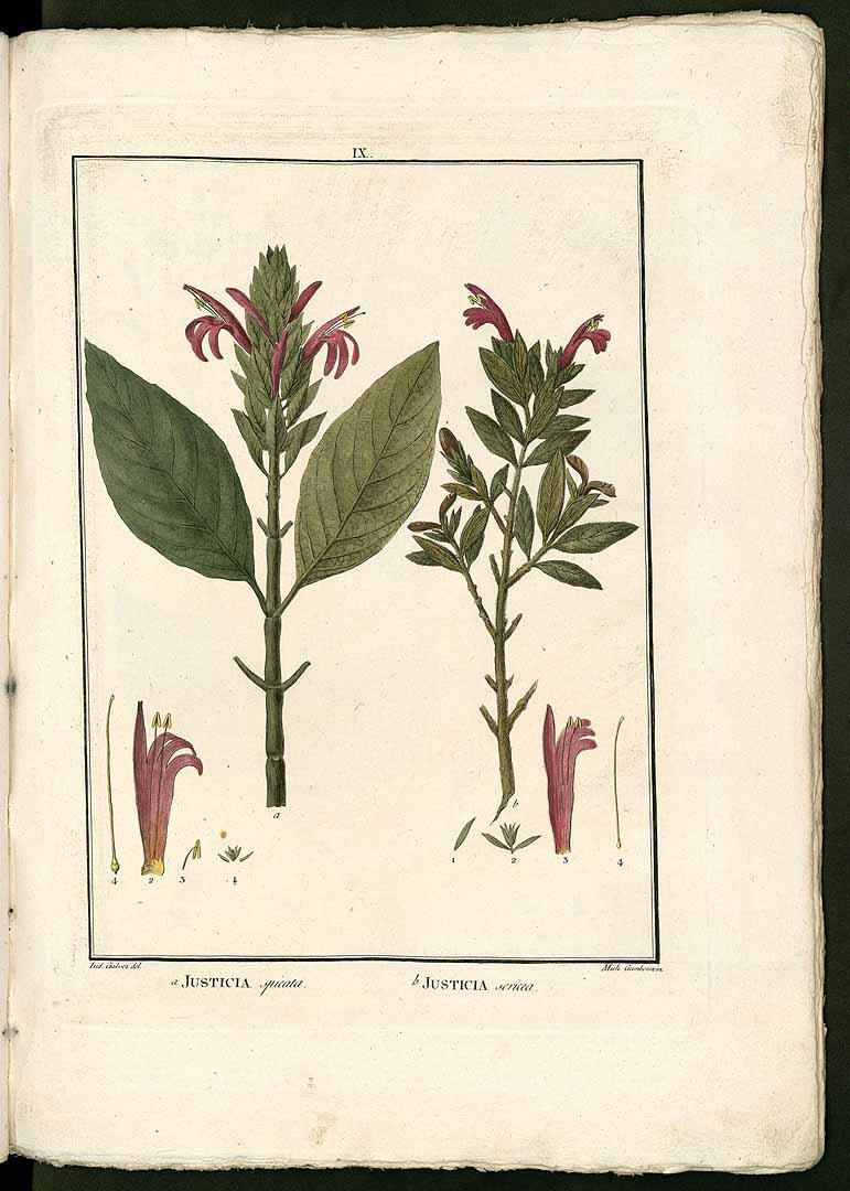 Pachystachys spicata