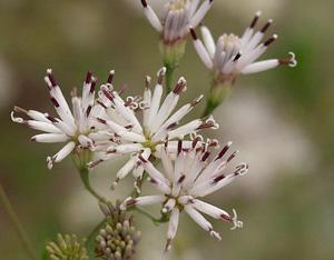 Palafoxia feayi