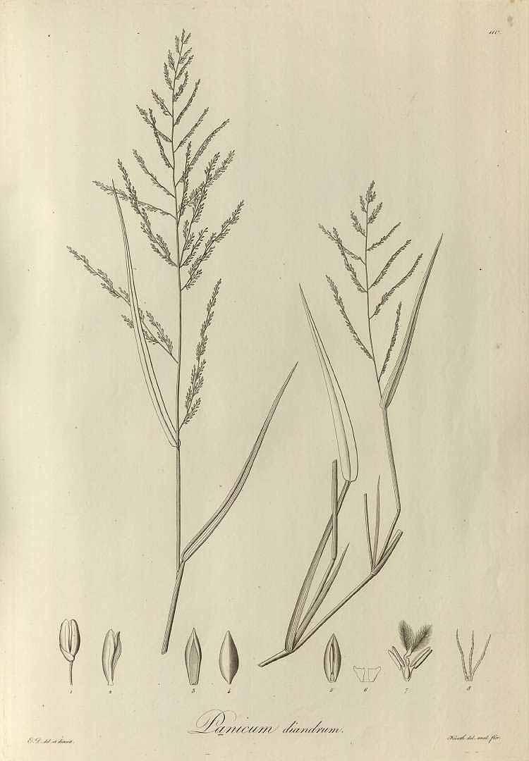 Panicum laxum
